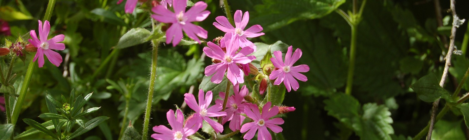JM red campion cuttlebrook June 13 012