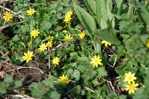 Lesser celendine grows in shady places and flowers in April