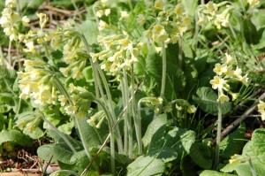 Oxlips in Coxs Wood, April