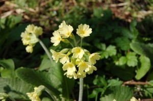 Oxlips were planted in Cox's Wood, they flower in April