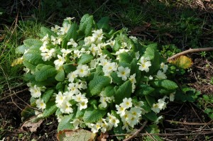 Primroses in Coxs Wood in April, before the trees come in to leaf