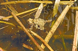 toads in the pond