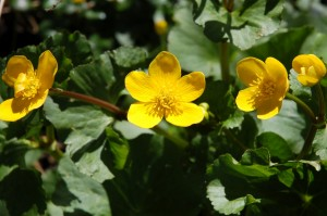 Marsh marigold or kingcup flowers in April and May in wet areas like the sedge beds