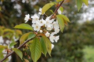 Wild cherry flowers in May