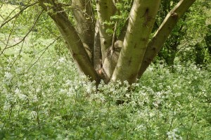 Cow parsley is very common here in May