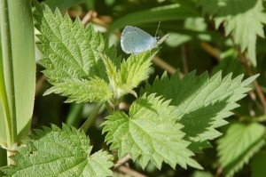 holly blue on nettle