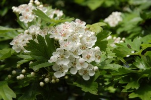 Hawthorn flowers in May