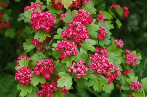 Double red flowering hawthorn