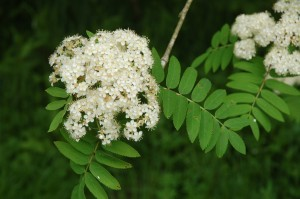 Rowan or mountain ash