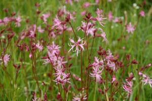 Ragged robin in Nontron meadows