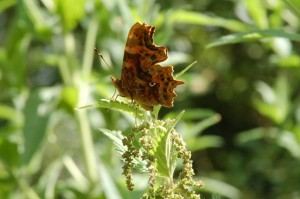 comma butterfly on nettle