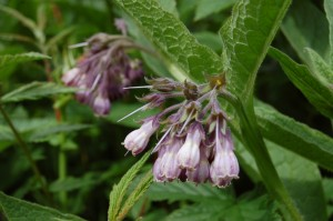Comfrey flowers in June