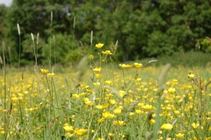 Meadow buttercups in June