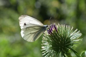 Cuttlebrook green veined white 30 July 0016