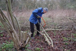 cutting hazel poles