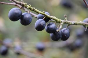 Sloes on blackthorn