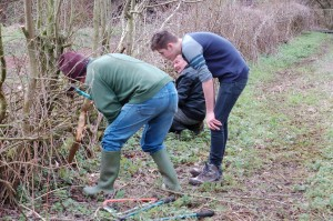Laying the hedge at Cox's Wood