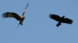 Red Kite screeching at Crow at Cuttle Brook