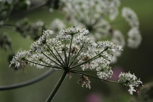 Cow Parsley flower,
