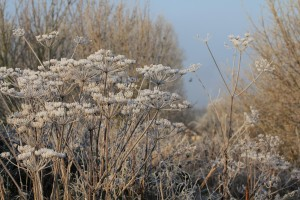 Frost on Hogweed