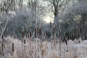 Frosted reedmace