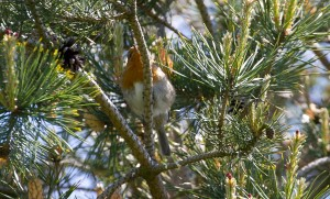 Robin in Pine Tree at Cuttle Brook