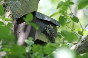 Great Tit feeding chick at nest box 16 Cuttle Broo