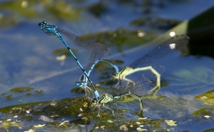 Two Pairs of Common Blue Damsel Flies on Cuttle