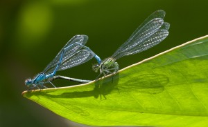 Common Blue Damsel Flies mating at Cuttle