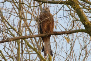 Red Kite perching in tree at Cuttle Brook