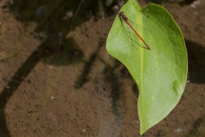 Large Red Damselfly - Pyrrhosoma nymphul