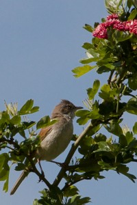 Female Whitethroat - Sylvia communis - i