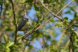 Adult Blue Tit on branch at Cuttle Brook