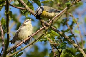 Young Blue Tit & Adult on branch at Cut