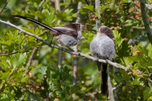 Two Long Tailed Tits at Cuttle Brook Reser