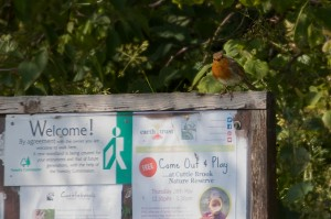 Robin perching on Cuttle Brook Reserve not