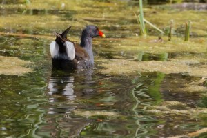 Moorhen - Gallinula chloropus - on  Cuttle