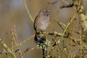 Dunnock -- singing