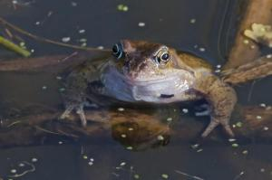 Frog in Cuttle Brook pond, Thame