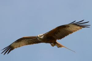 Red Kite with long stick in its beak