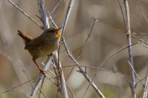 Portrait of Wren singing on reed stalks