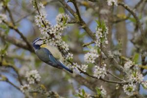 Blue Tit hanging from flowery branch,