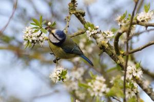 Blue Tit on flowery branch, Cuttle Brook