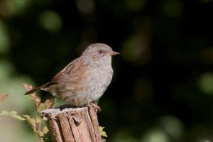 Dunnock on fence post at Cuttlebrook