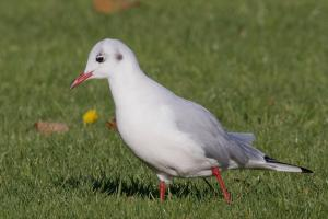 Black-headed Gull on recreation ground