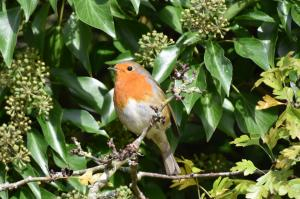 Robin in Ivy at Cutlebrook