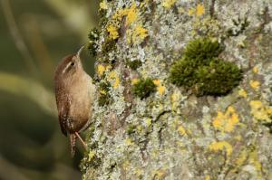 wren cuttlebrook